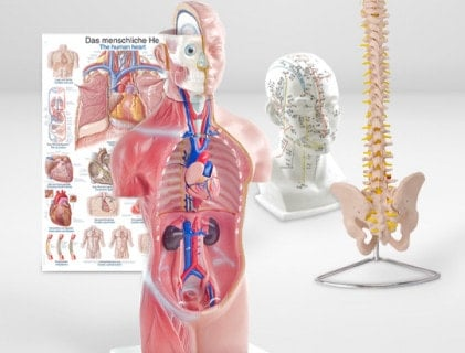 Anatomische modellen en leermiddelen