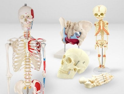 Skeletal Models