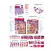 Planche anatomique « peau, cheveux, ongles »