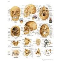 """Lámina anatómica """"cráneo humano"""""""