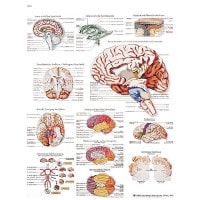"Anatomical board ""human brain"""