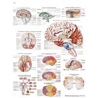 "Wall Chart ""The Human Brain"""