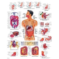"Anatomical board ""digestive system"""