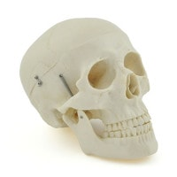 Crâne homme synthétique