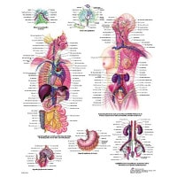 "Anatomical board ""Lymphatic system"""