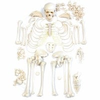 Disassembled Human Skeleton Model