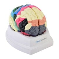 Maqueta de cerebro con áreas de Brodmann