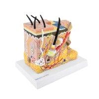 Modelo anatómico de la piel