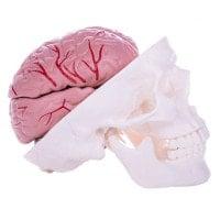 Skull Model with Brain