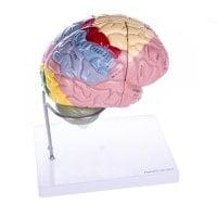 4-part Brain Model