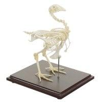 Aunténtico esqueleto de una gallina