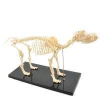 Zerlegbares Hundeskelett, mittelgroß