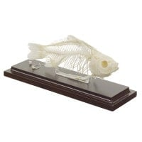 Fish Skeleton Specimen