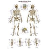 Planche anatomique « le squelette humain »