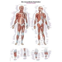"Wall Chart ""Human Muscular System"""