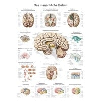 "Wall Chart ""The Brain"""