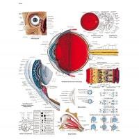 Planche anatomique « l'oeil humain »