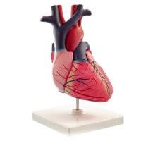 Modello di cuore a grandezza naturale