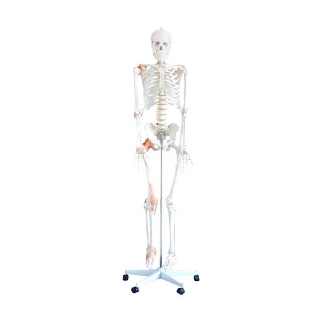 Szkielet człowieka model