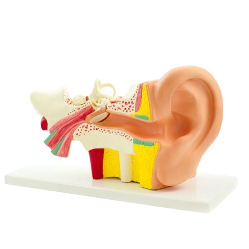 Modèle d'oreille, grossi 3 fois