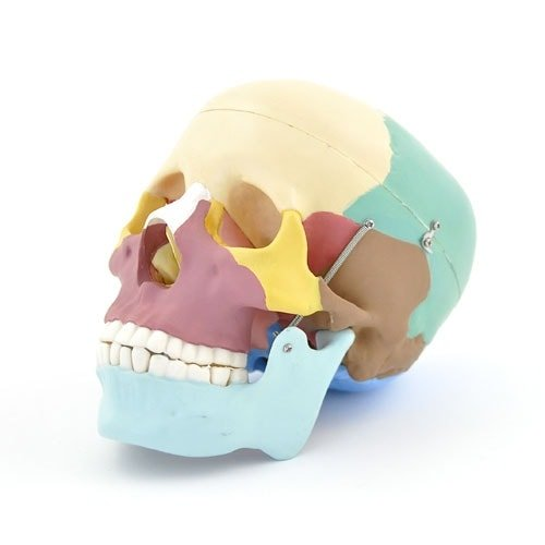 Modello di cranio a colori