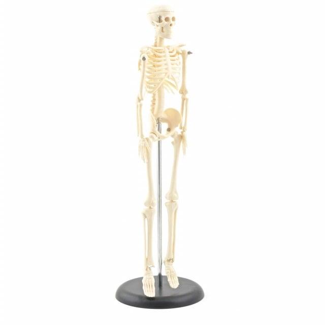 Skeletmodel (kleine versie)