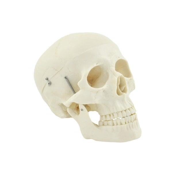 Modello di cranio umano