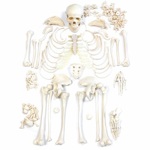 Modello di scheletro disassemblato
