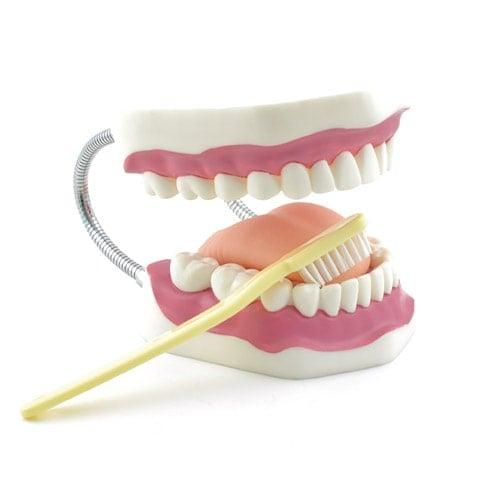 Modello anatomico didattico igiene dentale