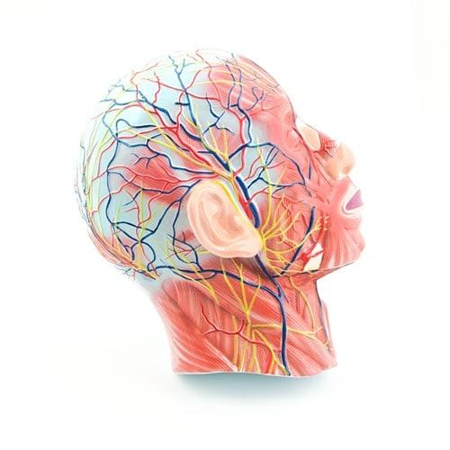 Human Head Model