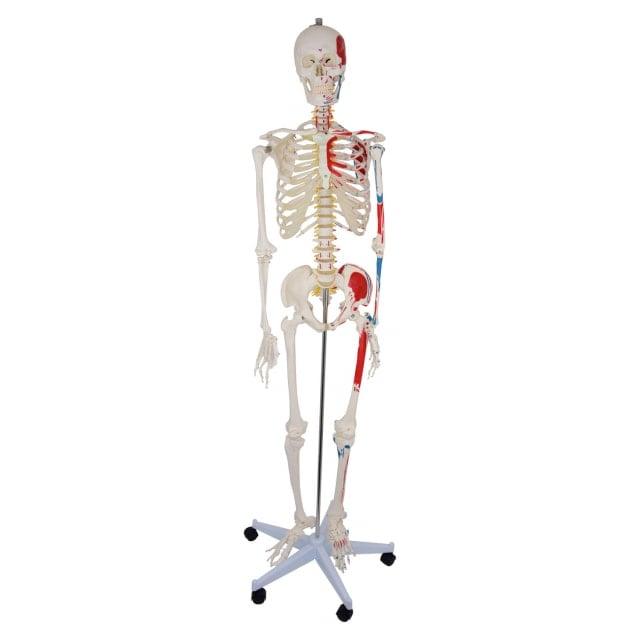 Modello di scheletro con inserzioni muscolari