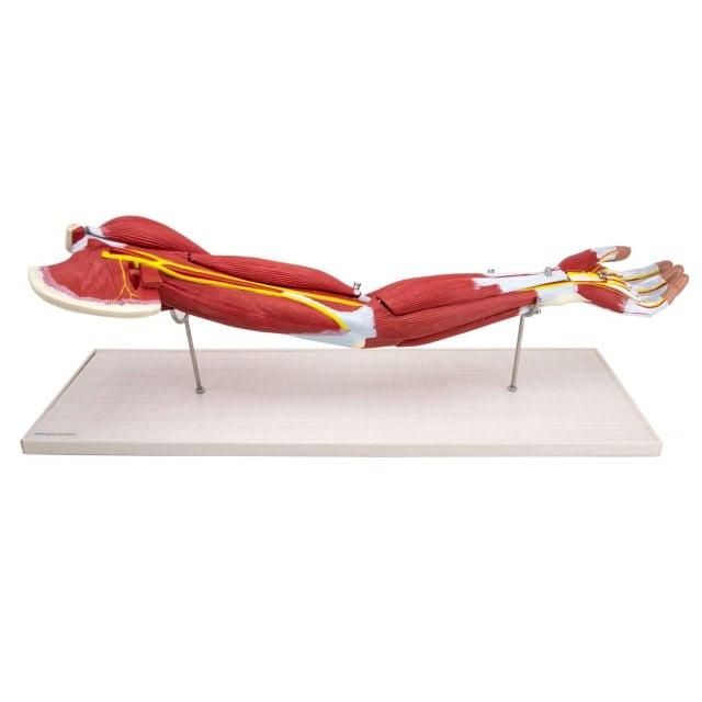 Modello dei muscoli del braccio