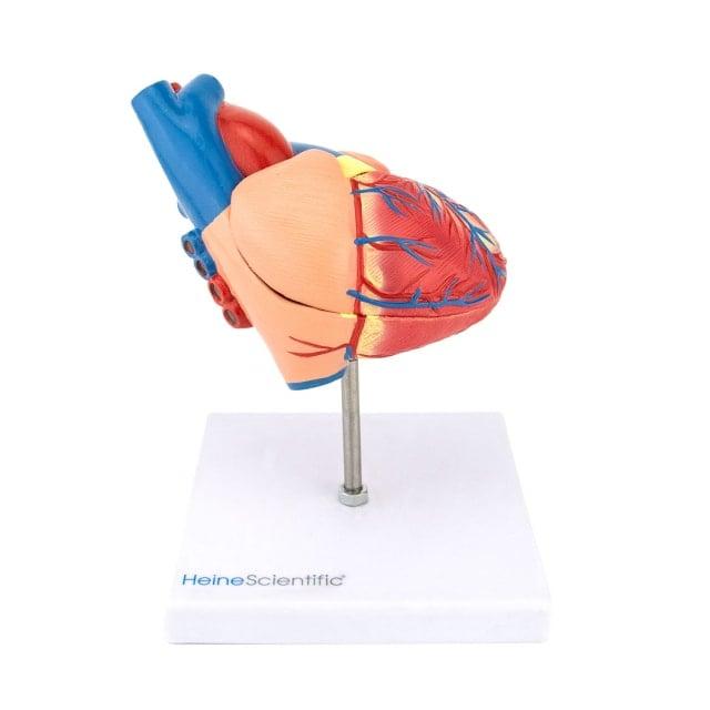 Modello di cuore, in 2 parti