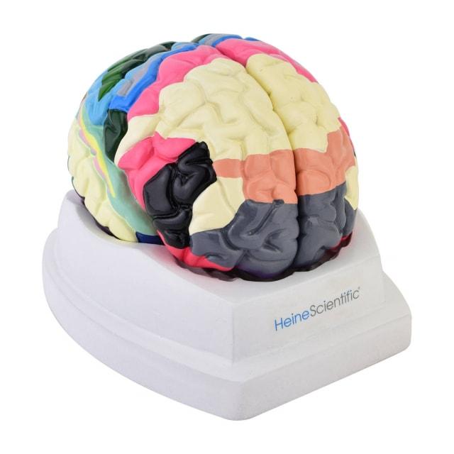 Modello del cervello con aree Brodmann