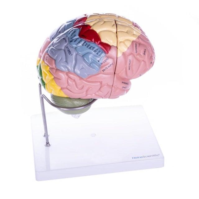 Gehirnmodell, 4-teilig