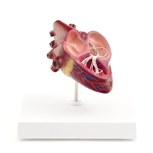 Canine Heartworm Model