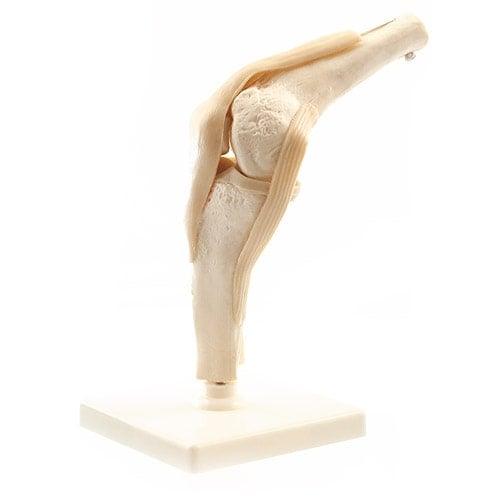 Modello di ginocchio umano