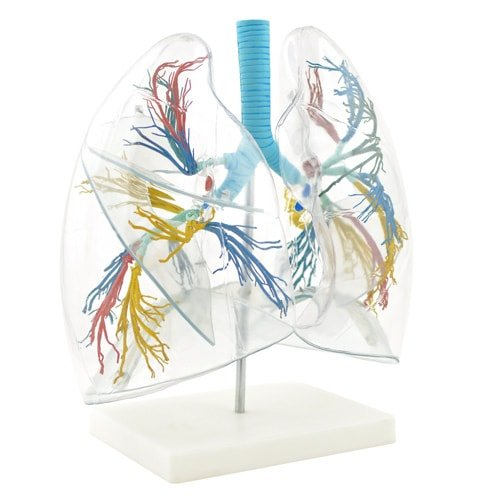 Lung Model - Transparent