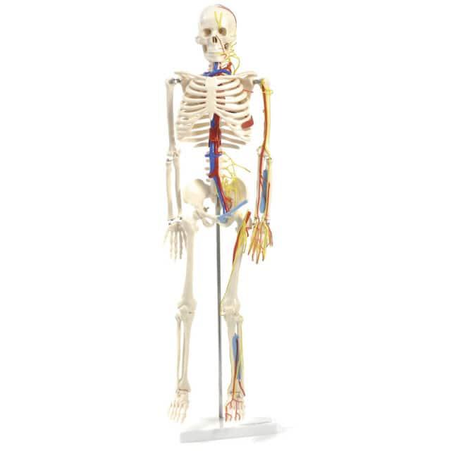 Esqueleto anatómico con nervios y vasos que incluye una base estable