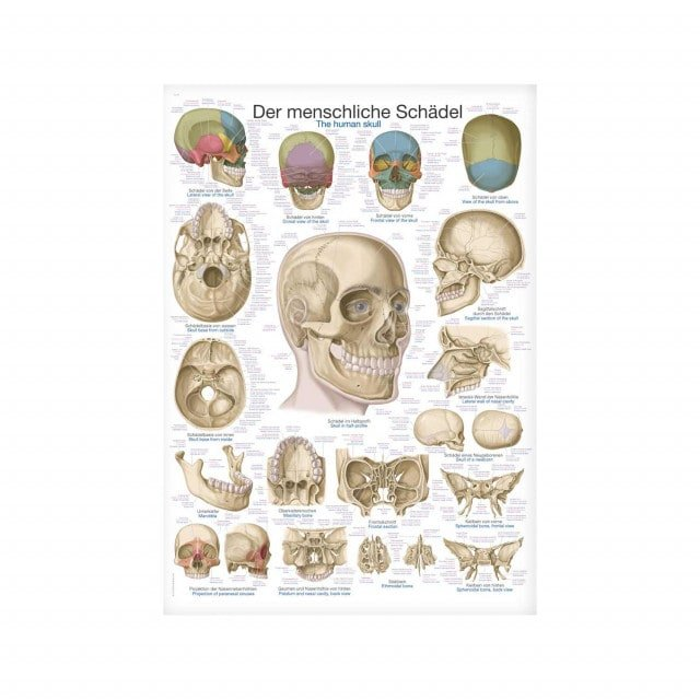 The Human Skull wall chart with inscriptions in German, English and Latin