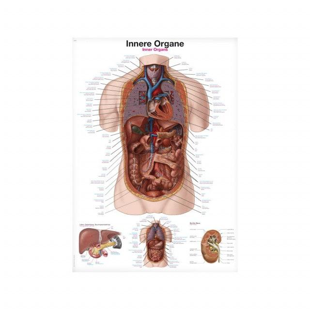 """Tablica anatomiczna """"Narządy wewnętrzne"""" z opisem w j. angielskim, niemieckim oraz po łacinie"""