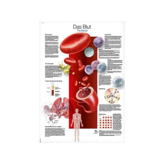 """Plakat edukacyjny """"Krew"""" z obszernym opisem w j. angielskim i niemieckim"""