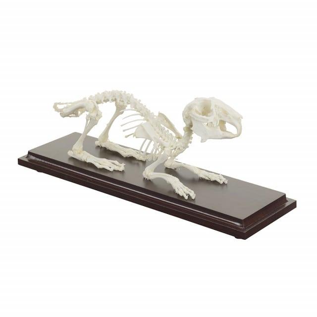 Specimen made of natural rabbit bones from HeineScientific