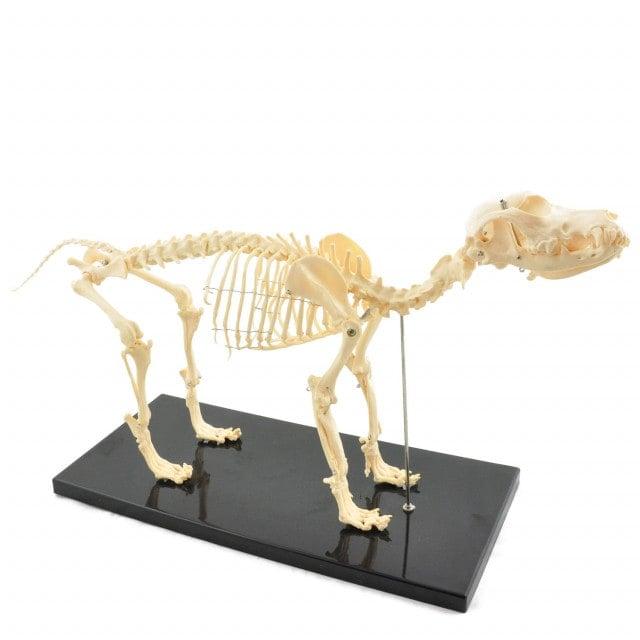 Szkielet psa o wymiarach 67 x 32 x 14 cm (dł. x wys. x szer.)