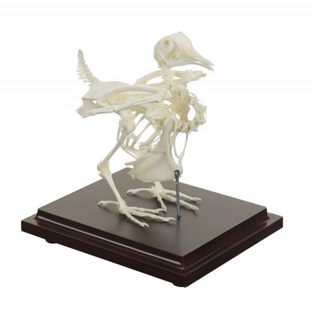 Squelette de pigeon véritable