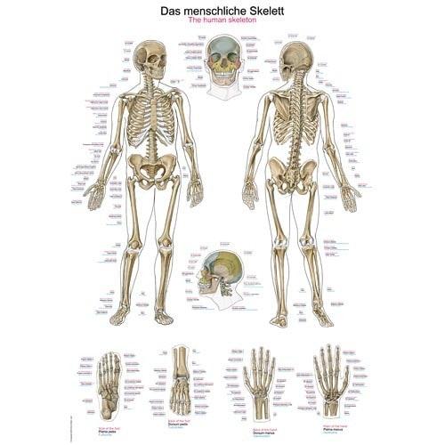 "Poster ""Esqueleto humano"""