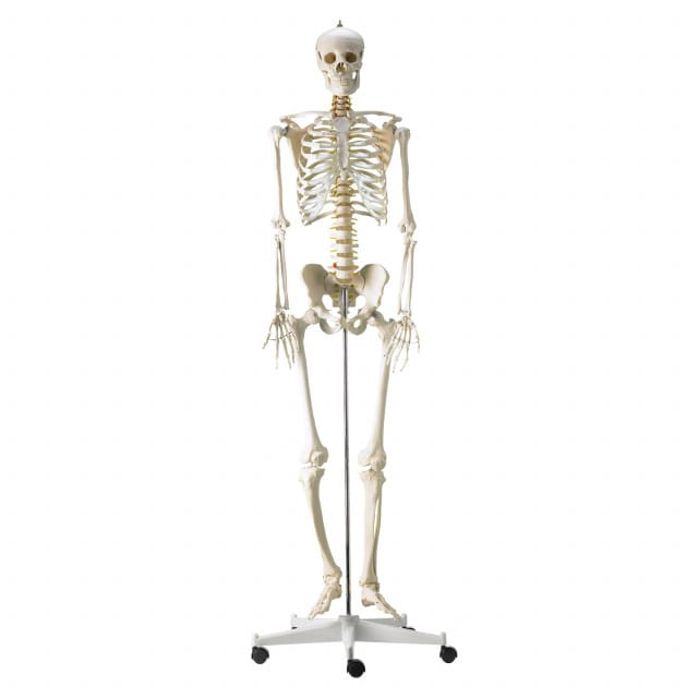 Life-Size Human Skeleton Model