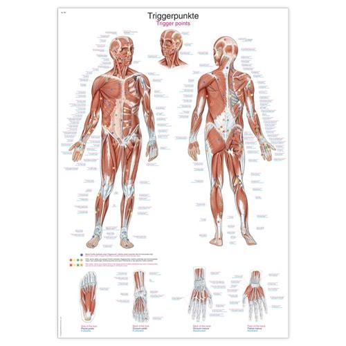 https://static.praxisdienst.com/out/pictures/generated/product/1/800_800_100/lehrtafel_physiotherapie_triggerpunkte_erler_zimmer_372142_1.jpg
