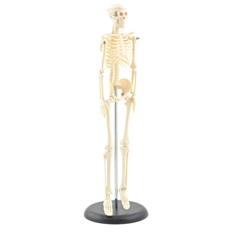 Model Skeleton (Miniature)