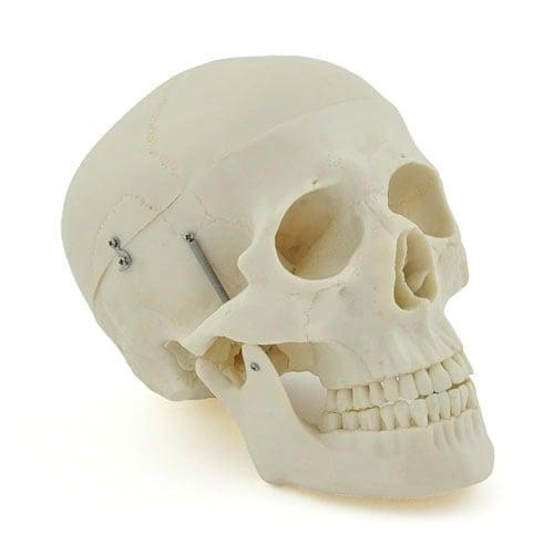 Schädelmodell aus stabilem Kunststoff mit beweglichem Kiefer